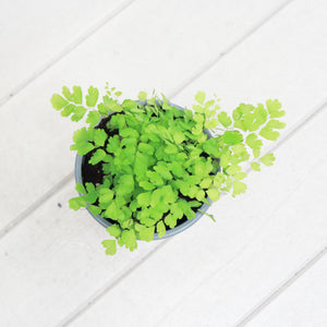 Maidenhair Fern in Plastic Pot