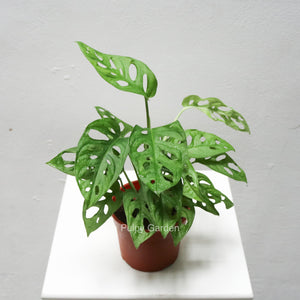 Monstera adansonii in Plastic Pot