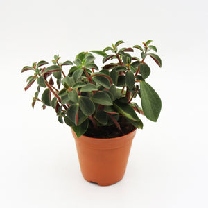 Peperomia Verticillata 'Red Log'