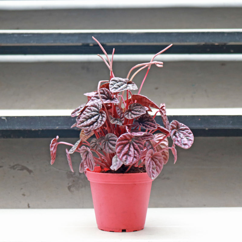 Peperomia caperata 'Emerald Ripple' in Plastic Pot