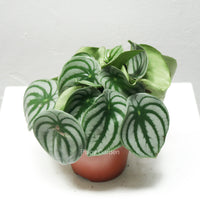 Peperomia Argyreia 'Watermelon' in Plastic Pot (Large)