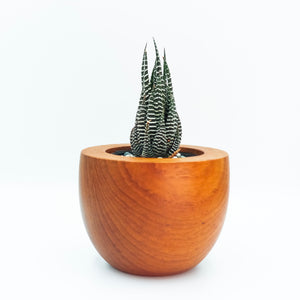 haworthia in a teacup