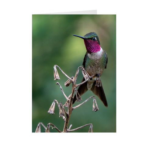 Image of Amethyst Woodstar Hummingbird - Folded Note Cards