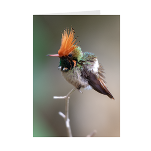 Rufous-crested Coquette - Folded Note Cards