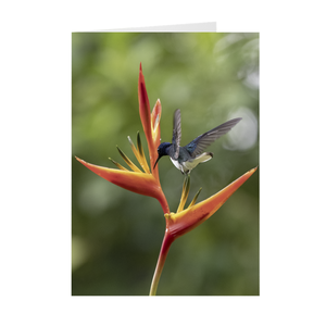 White-necled Jacobin Hummingbird on Heliconia Folded Note Cards