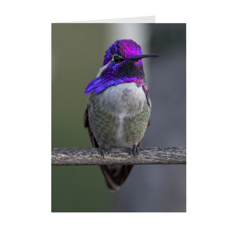 Image of Costa's Hummingbird Folded Note Cards