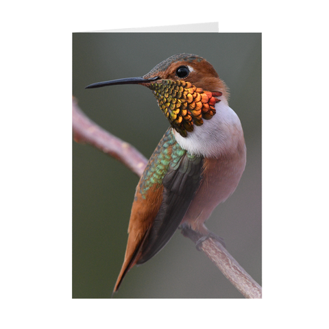 Image of Allen's Hummingbird - Folded Note Cards
