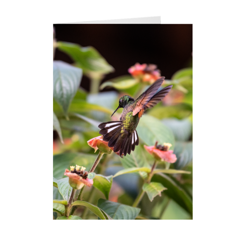 Image of Stripe-tailed Hummingbird Folded Note Cards