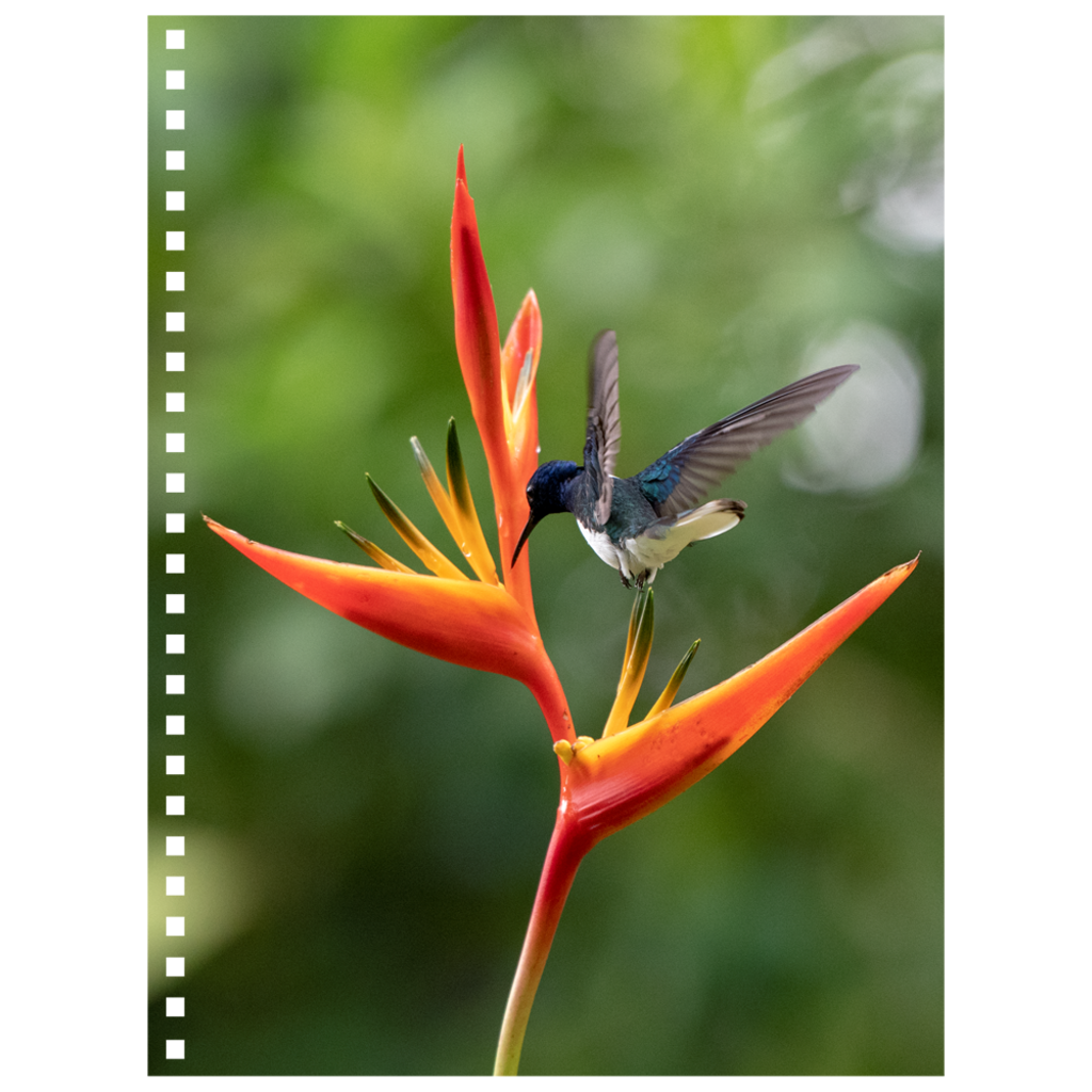 White-necked Jacobin Hummingbird Spiral Notebook