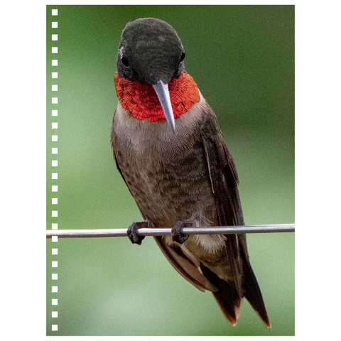 Ruby-throated Hummingbird Spiral Notebook
