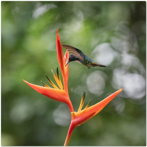 Golden-tailed Sapphire Hummingbird on Heliconia Flower Placemats