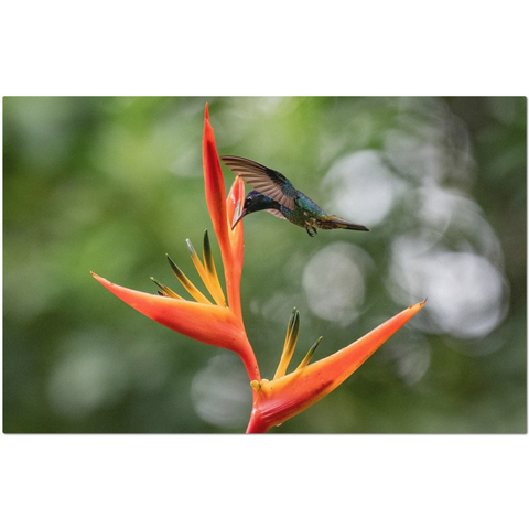 Image of Golden-tailed Sapphire Hummingbird on Heliconia Flower Placemats