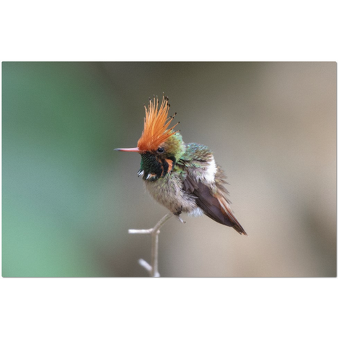 Rufous-crested Coquette Hummingbird Placemats