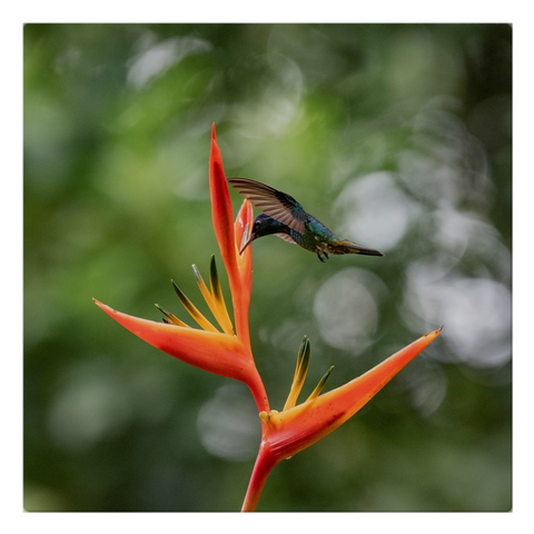 Golden-tailed Hummingbird on Heliconia Cloth Napkins