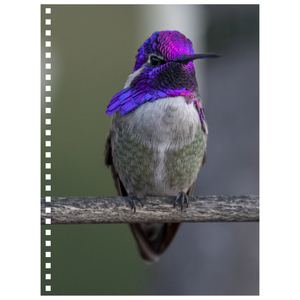 Costa's Hummingbird Spiral Notebook