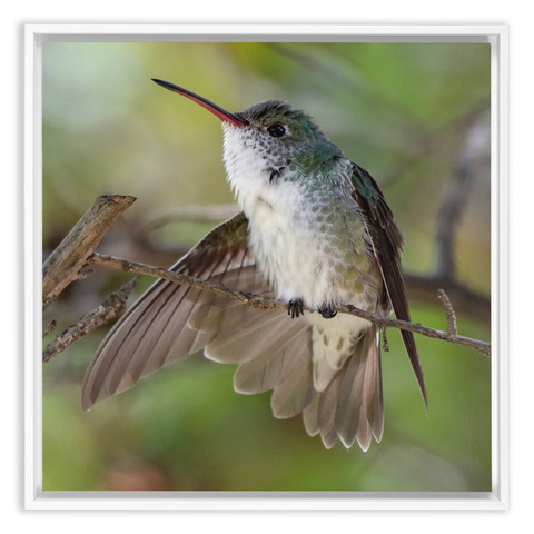 Image of White-bellied Hummingbird Framed Canvas Wrap