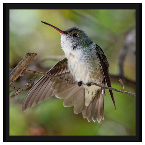 White-bellied Hummingbird Framed Canvas Wrap