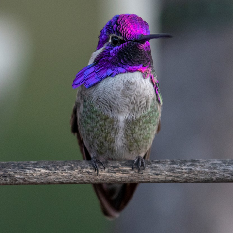 Image of Costa's Hummingbird Professional Print