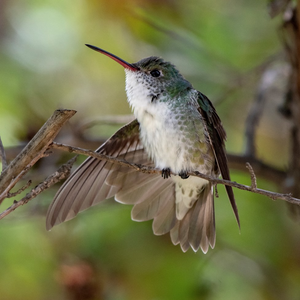 White-bellied Hummingbird Professional Prints