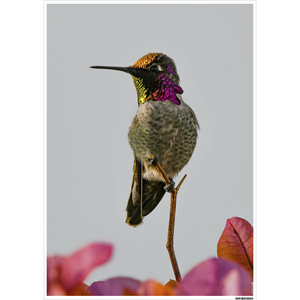 Poster of Anna's Hummingbird in the Setting Sun