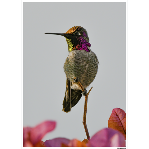 Image of Poster of Anna's Hummingbird in the Setting Sun