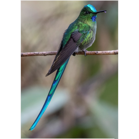 Long-tailed Sylph Hummingbird Poster