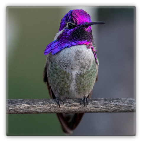 Costa's Hummingbird Metal Magnet