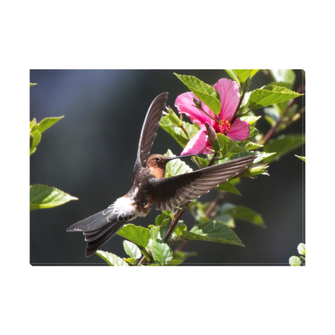 5 x 7 Giant Hummingbird Easel Back Canvas
