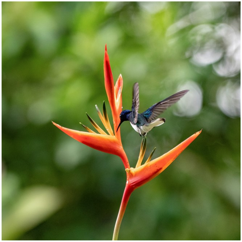 Image of White-necked Jacobin on Heliconia Canvas Mini
