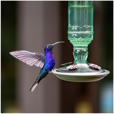 Image of Violet Sabrewing Canvas Mini