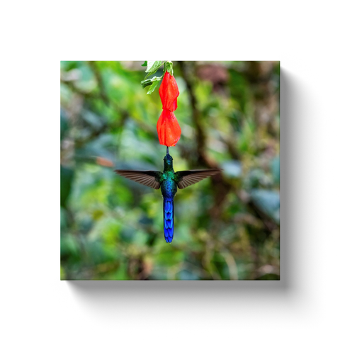 Image of Juvenile Violet-tailed Sylph Hummingbird