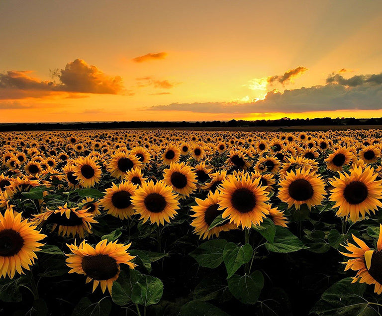 What a Sunflower taught me