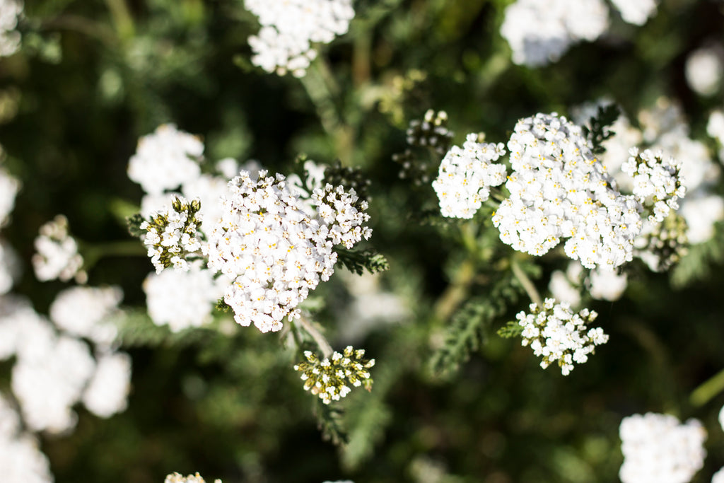 About That Yarrow