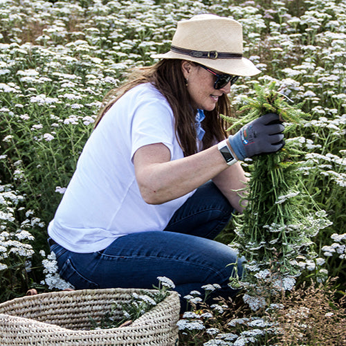 Yarrow picking in Iceland