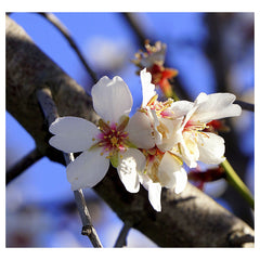 Almond Flower Essence for Pets -