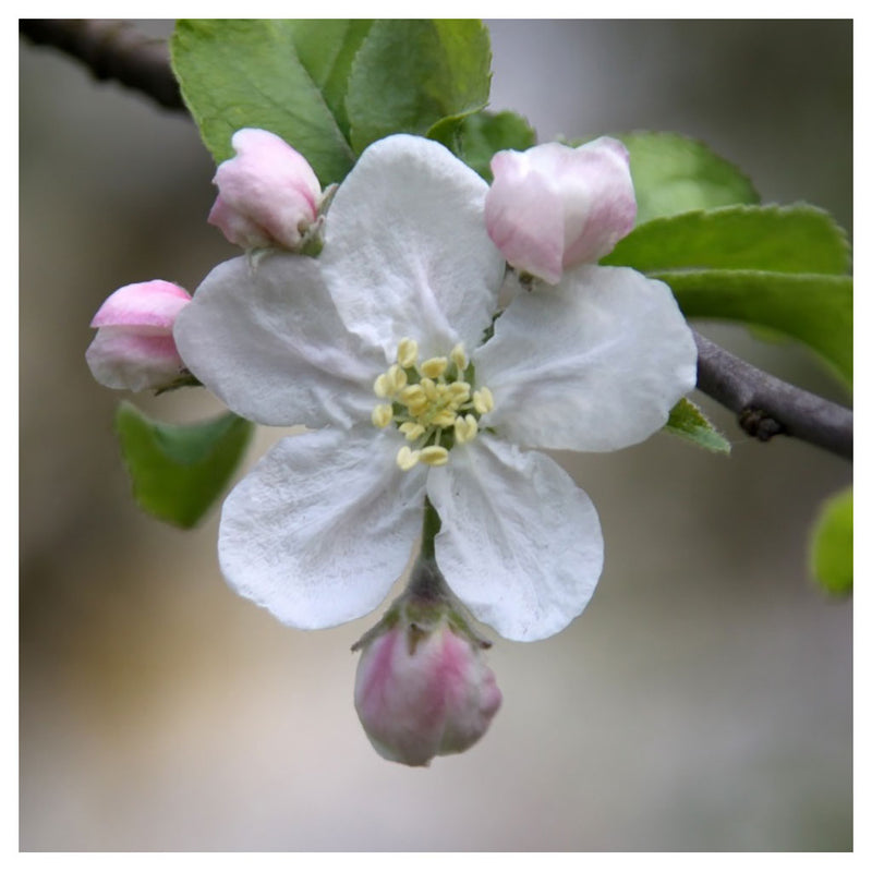 "Apple Flower Essence for Children - ""Healthfulness"""