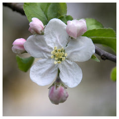 Apple Flower Essence - Peaceful Clarity   15 ml