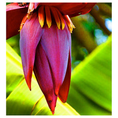 Banana Flower Essence - Humility Rooted in Calmness   15 ml