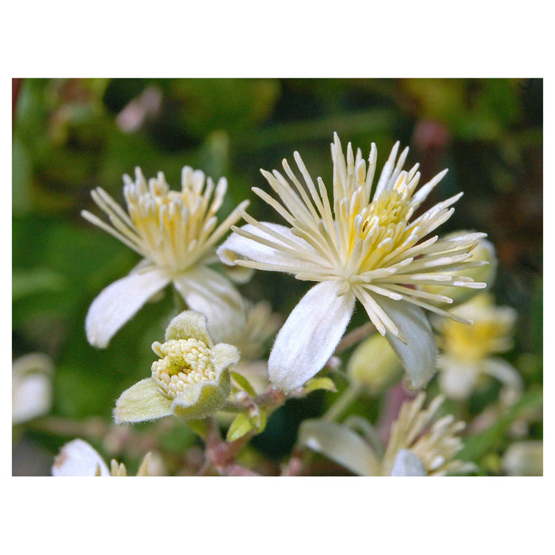 Clematis - Clear Thoughts
