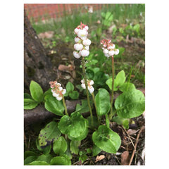 Wintergreen  (Pyrola rotundifolia)