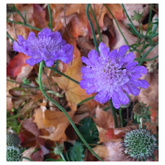 Field Scabious - Grounding. Receiving love.