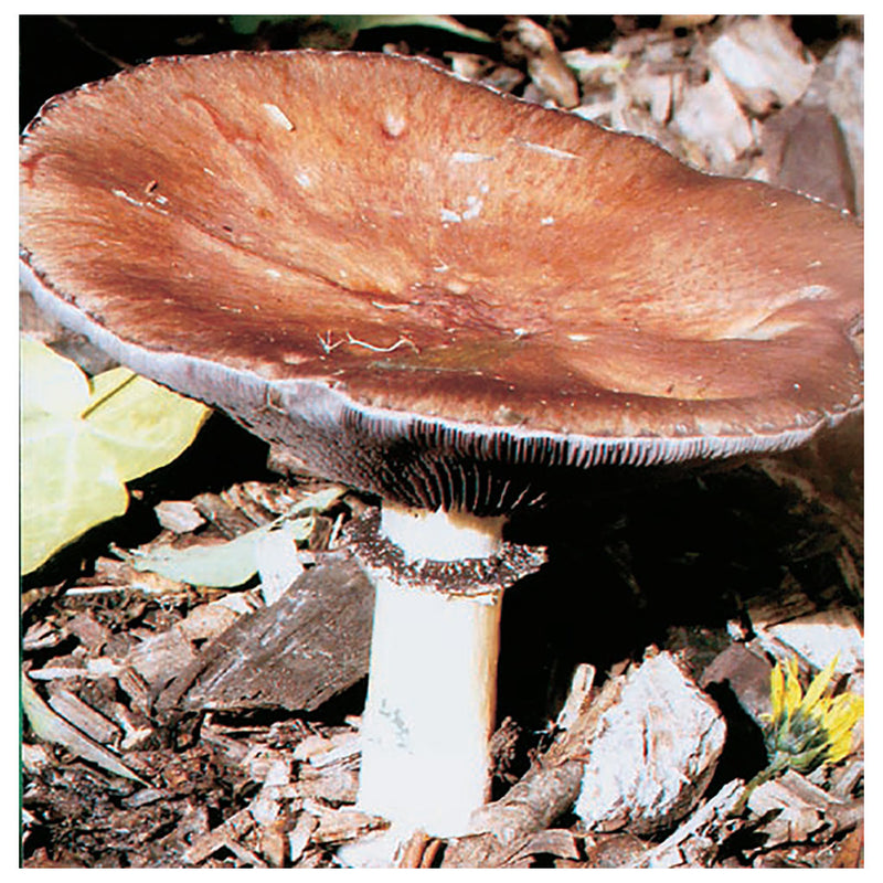 Giant Stropharia Mushroom - Activity. Pleasure and fun.