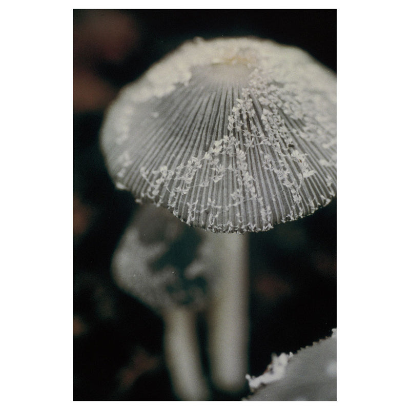 Little Inky Cap Mushroom - Emotional strength. Not being pushed around anymore.