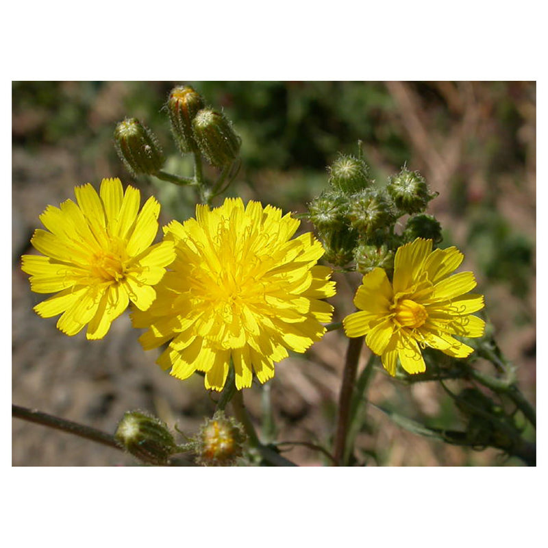 Smooth Hawksbeard - Softens. Childhood