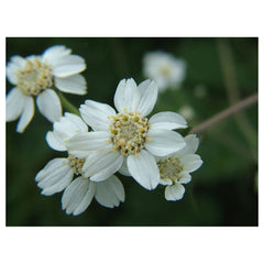 Sneezewort - Protection of your path. Decisiveness