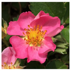 Strawberry Flower Essence for Pets -