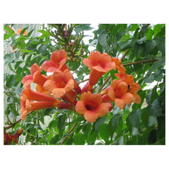Trumpet Vine - Communication