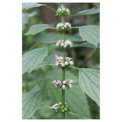 Motherwort - Family. Feeling at home.