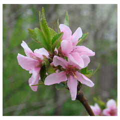 Peach Flower Essence for Pets -