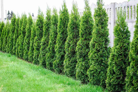 Arborvitae row in front of fence